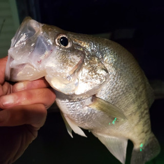 Holding caught fish by the mouth