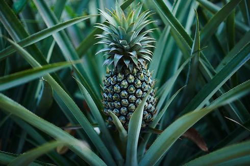 Pineapples in a field