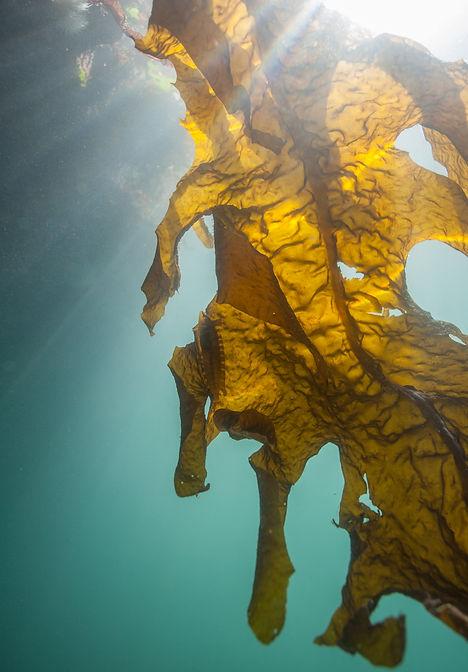 Alga Japonesa -Undaria pinnatifida