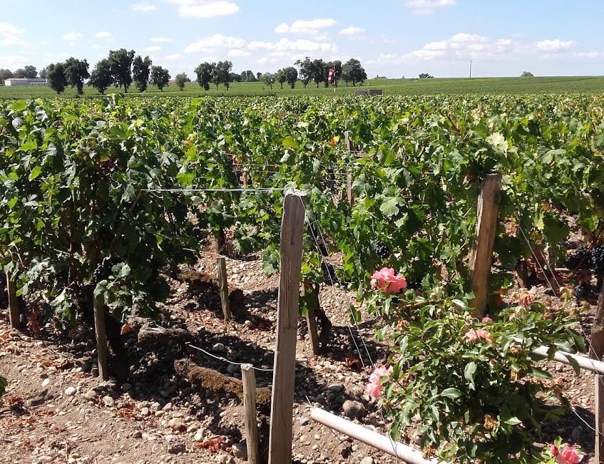 メドック地区のブドウ畑