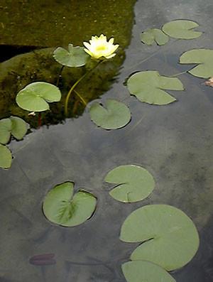 大原美術館 モネの水連