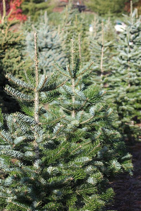 Christmas trees for sale Bucks.jpg