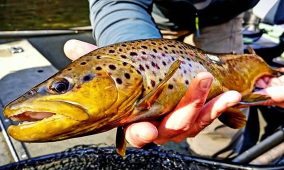 Southwest Michigan wild brown trout alwa