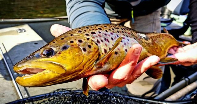 Southwest Michigan wild brown trout alwa