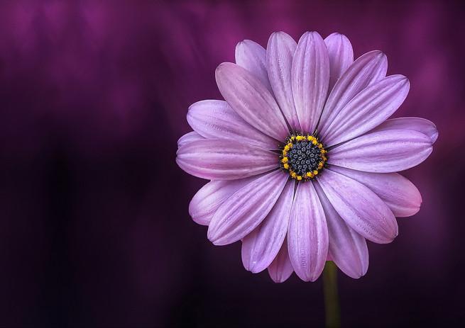 FLOWER-PURPLE-LICAL-BLOSSO.jpeg