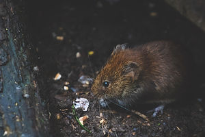 animal-bank-vole-blur-1010267.jpg