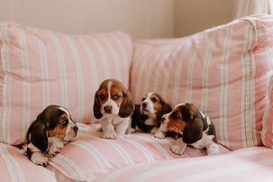 Beagle-7.jpg