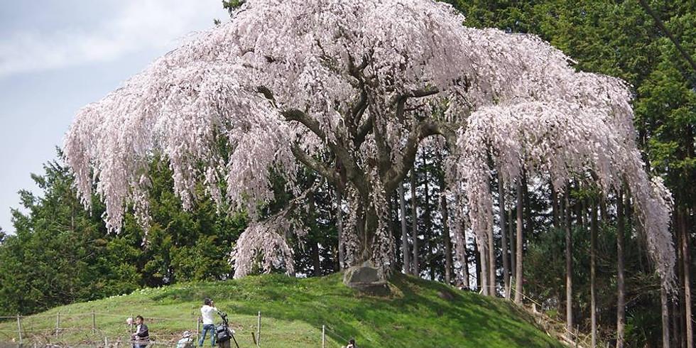 4/7 乙妻の桜と小楢山 +4/8ワニ塚の桜と横尾山 (それぞれ日帰りor1泊2日の参加OK)