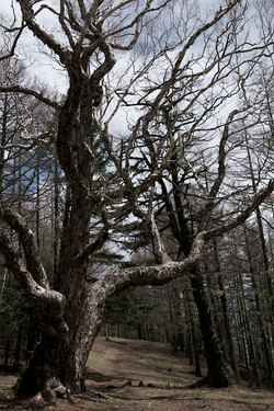 櫛形山ダケカンバの巨樹