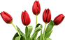png-clipart-tulip-tulip-removebg-preview