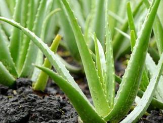 24 novembre - Aloe Vera, plante médicinale avec Corinne et Marc