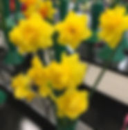 Daffodils at Spring Flower Show