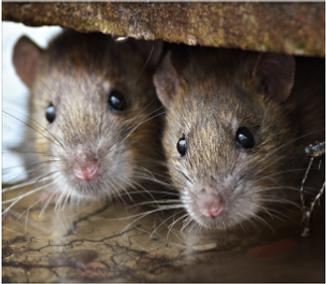 2 cute rats