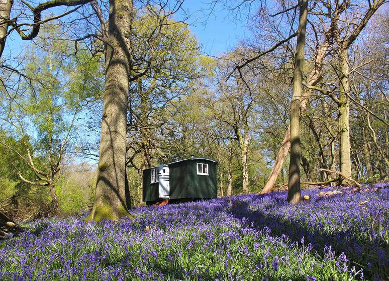 Bluebells in Spring
