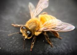 Macro photography: bee