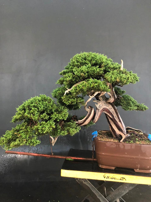 Juníperus Itoigawa