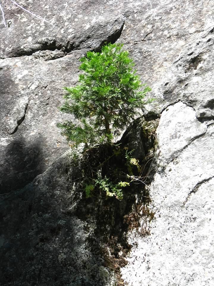 yosemite tree.jpg