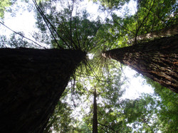 Old Growth Redwoods