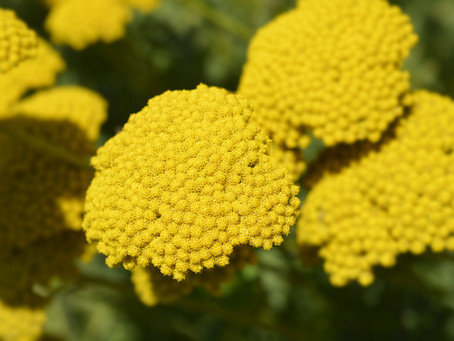 Plant of the Month: Yarrow