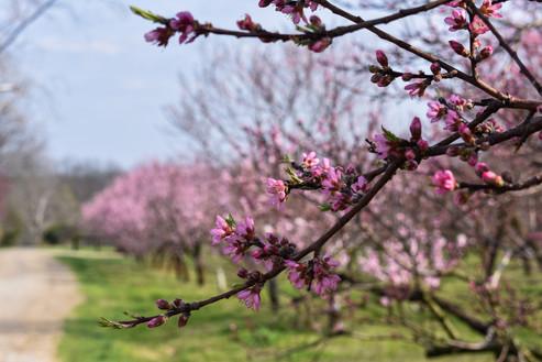 Peach Trees on Orchard Lane