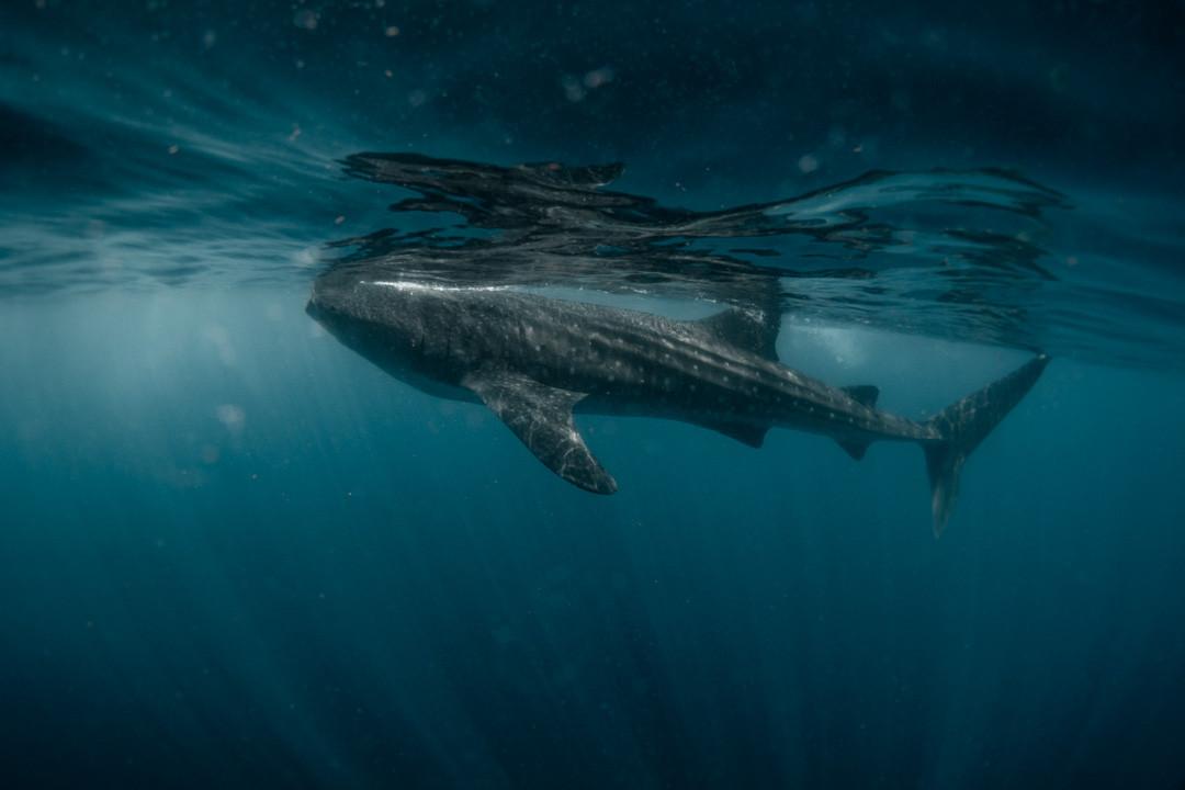 Whale Shark, Mexico, 2018.