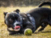 staffie-and-tennis-ball-850x637.jpg