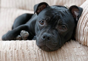 lying-on-couch-staffordshire-bull-terrie