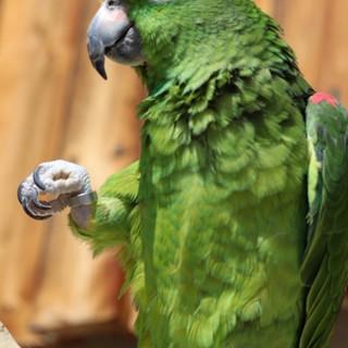 Guapo Papagei