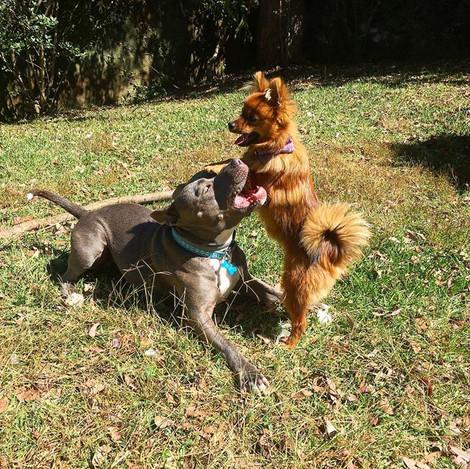 Pitbull Bella und Cosita