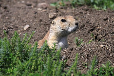 Prairie dogs thrive at Sllys Hill National Game Preserve at Fort Totten, N.D.