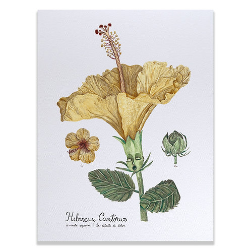 Hibiscus cantorus - Print 30x40