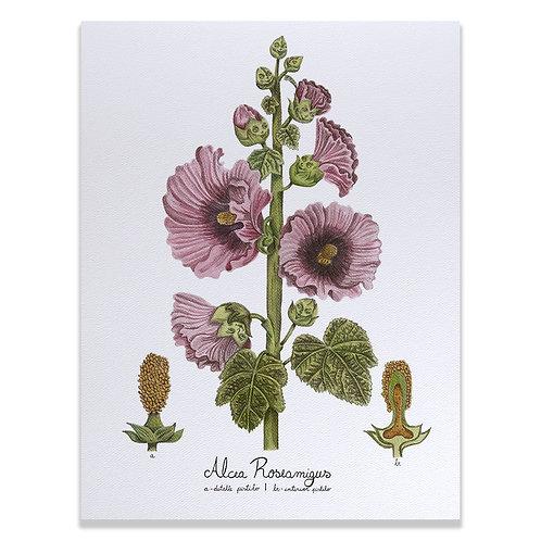 Alcea Roseamigus - Print 30x40
