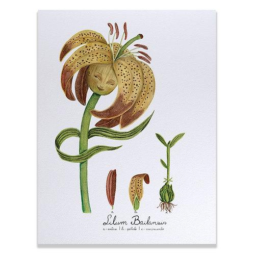 Lilium bailansis - Print 30x40