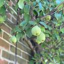 Saddlers Pears.jpg