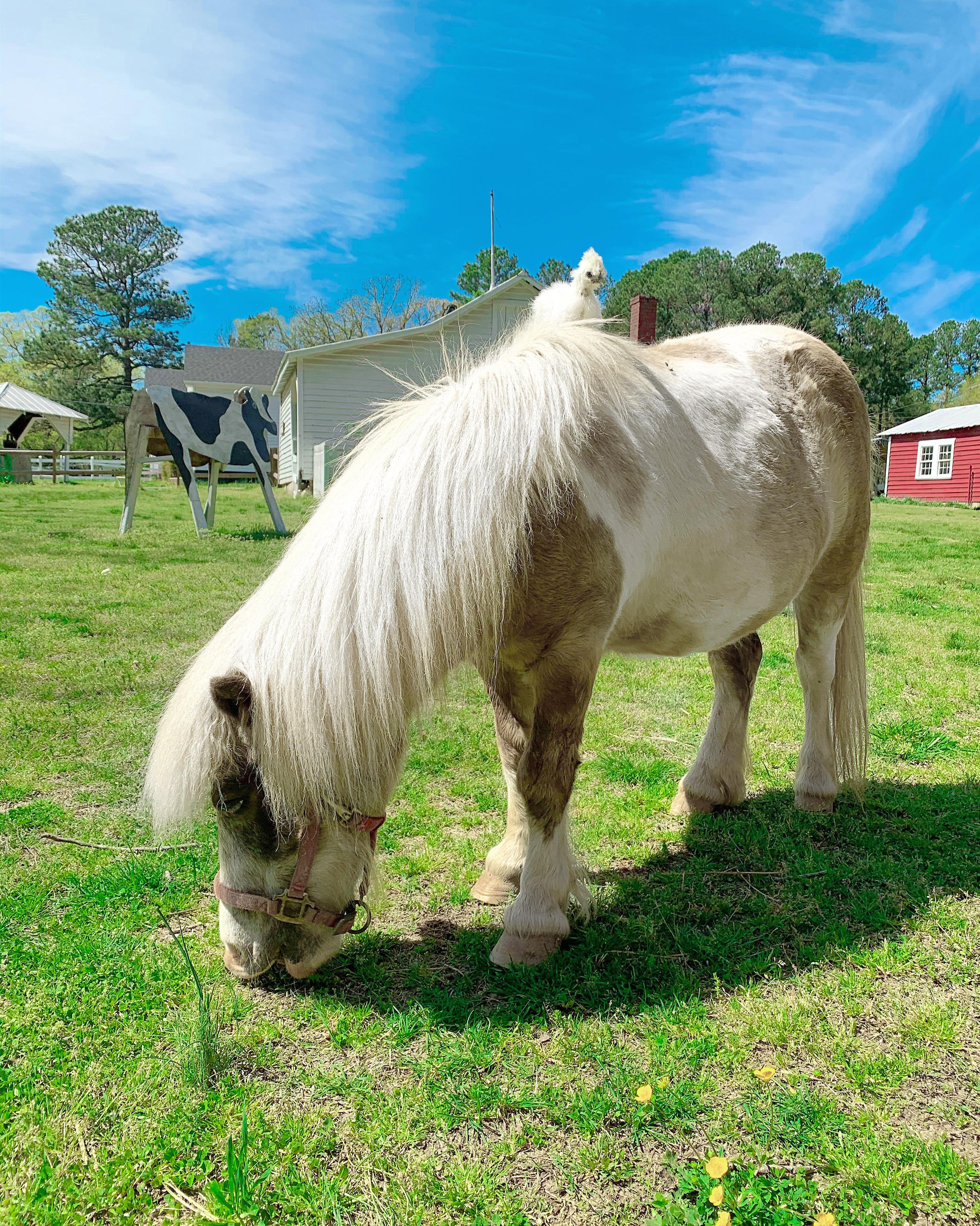 Toby the Pony