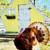 Stuffin The Turkey