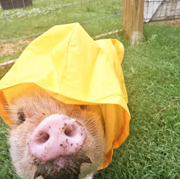 Penelope The Pig