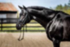Ryan Pedigo Hanoverian Stallion