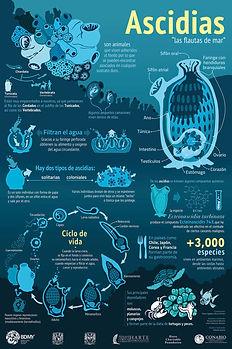Ascidias