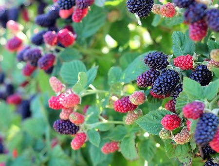 U-pick-farm-blackberry-bush-2.jpg