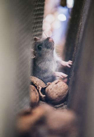 Mice Hiding