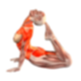 Anatomia-para-el-hatha-yoga.png