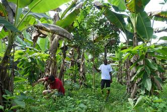 Small Nana Trial cocoa 6m, ofram _ plant