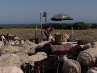 Tonte sur l'île d'Hoëdic, laine à bord!