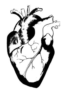 Aortic Organ