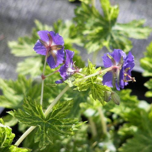 Geranium phaeum Margaret Wilson