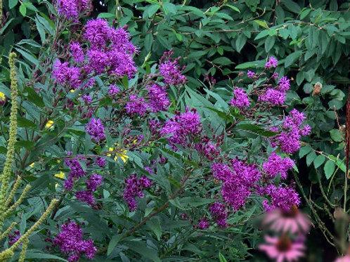 Vernonia crinata Mammuth