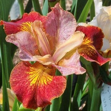 iris sibirica paprikash