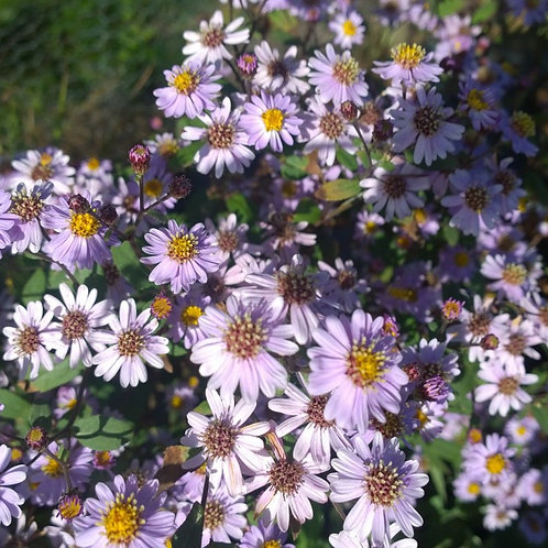 Aster ageratoides Harry Smith