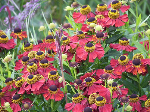 Helenium Moorheim Beauty